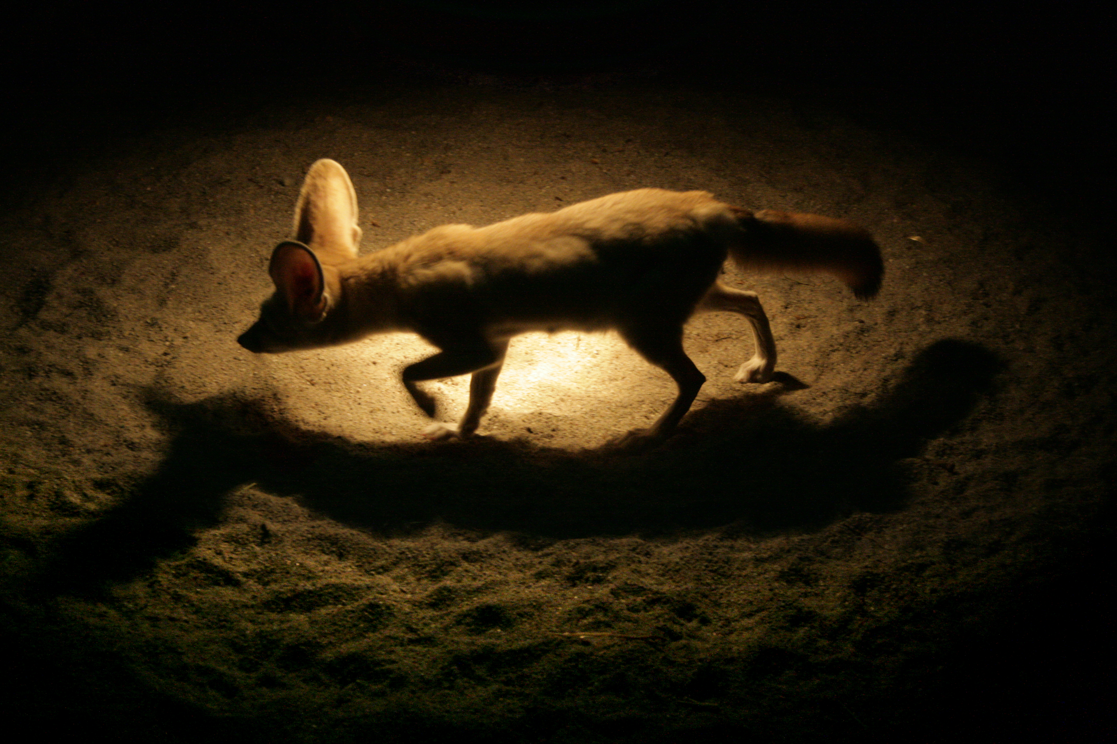 Fenek (2007)
